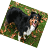 bernese mountain dog with degenerative myelopathy